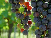 grapes in a vineyard in autumn. NOT AVAILABLE FOR USE IN CALENDERS, Germany, Rhineland_Palatinate, Siebeldingen