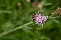 red striped insect, pollinate on purple flower