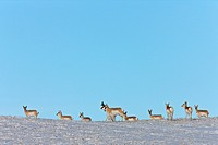 Prairie Pronhorn Antelope in Winter Saskatchewan