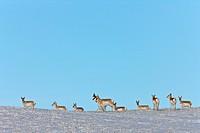 Prairie Pronhorn Antelope in Winter Saskatchewan