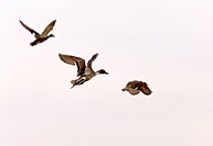 Northern Pintail Duck in Flight Saskatchewan Canada