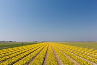 a fresh and bright yellow fiield of pring flowers in Holland