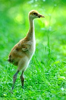 Manchurian crane Grus japonensis, chick in a meadow