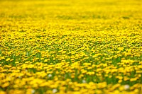 Selected Focus on a Field of Dandelions, Fernie, British Columbia