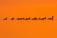 greylag goose Anser anser, family on a lake in morning mood, Austria, Burgenland