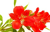 Alstroemeria on a white background