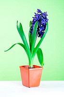 hyacinth blossom in pot