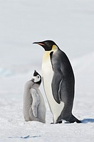 Emperor Penguin Aptenodytes forsteri adult and chick  Snow Hill Island, Antarctic Peninsula, Antarctica