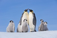 Emperor Penguin Aptenodytes forsteri group with adults and chicks  Snow Hill Island, Antarctic Peninsula, Antarctica