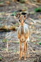 Gazelle, Tarangire National Park, Tanzania
