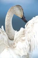 Trumpeter swan, southern lakes region, Yukon
