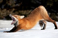 Red fox yawning and stretching in snow, Montreal, Quebec