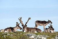 Caribou. Group of caribou sitting on the alpine tundra. Rangifer tarandus caribou. Mount Jacques Cartier. Gaspesie National Park. Province of Quebec. ...