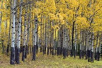 Yellow aspen forest in autumn, near Banff, Alberta Canada