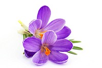 crocus _ flowers of spring