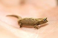 Dwarf or Minute Leaf chameleon Brookesia minima photographed in the palm of a man's hand in Monagne D'Ambre National Park in northern Madagascar