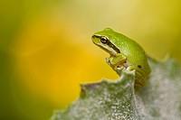Pacific Treefrog Hyla regilla, British Columbia.