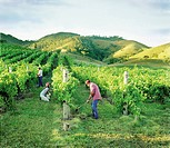 People Working in Vineyard
