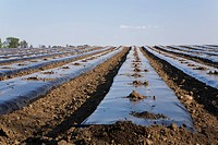 Agricultural field with protective covering to prevent frost damage in spring, Laval, Quebec