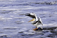 American White Pelican landing in foamy, polluted water, Red River, Lockport, Manitoba