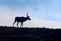 Silhouette of woodland caribou standing on alpine tundra, Mount Jacques Cartier, Gaspesie National Park, Quebec