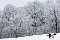 Horse Running in Snow Pasture Near Trees