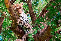Powerful leopard resting on a tree