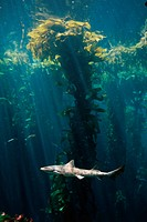 Tiger Shark Swimming Through Kelp