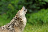 Howling timber wolf, Canis lupus,