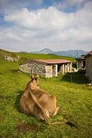 mucche al pascolo, val taleggio, lombardia, italia