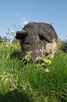 Mangalitza pig on meadow