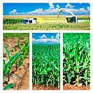 Collage of maize on the field