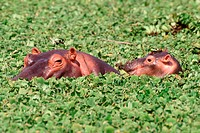 Hippopotamuses _ Serengeti National Park