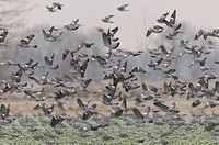 Wood Pigeons, Germany / Columba palumbus