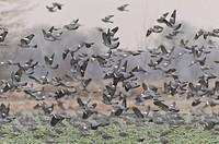 Wood Pigeons, Germany / Columba palumbus