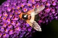 Hoverfly, Germany / Volucella inflata