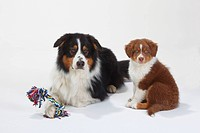 Australian Shepherd, black_tri, with puppy, red_tri, 9 weeks / toy