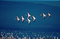 documentary, The Crimson Wing: Mystery of the Flamingos, USA / GBR 2008, director: Matthew Aeberhard, Leander Ward, scene,