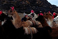 Herd of Llamas Carrying Packs
