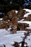Adult Mountain Lion