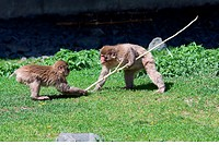 Two Macaque Monkey´s playing tug_of_war