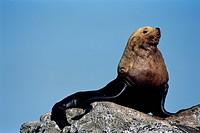 Resting Sea Lion Bull