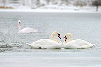 love and fidelity of the swans