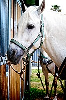 White horse parked