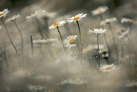 Blur of Daisies in Sunshine