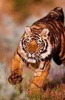 Bengal Tiger Panthera Tigris Tigris Running