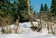 Snowshoe Rabbit Beside Bushes in the Snow