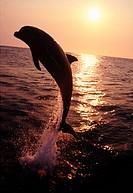 Dolphin on the ocean