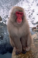 A Japanese macaque sits on a rock beside a natural hot spring in Japan's Shiga Highlands