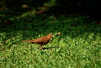 A clay_colored robin stands on the floor of a rainforest near Braulio Carrillo National Park, Costa Rica.